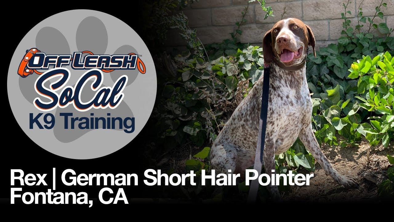 Rex| German Shorthaired Pointer| Fontana, CA