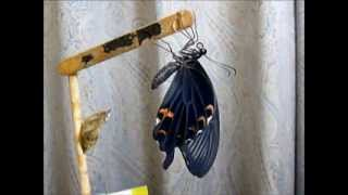 2010年の幼虫飼育、クロアゲハの第1号の羽化です。 クロアゲハの幼...