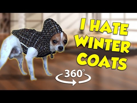 CHIHUAHUA HATES WINTER COAT 360 VIDEO | NIC AND PANCHO