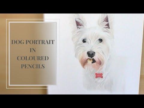 Yorkshire Terrier in Coloured Pencils   Victoria Randall Fine Art