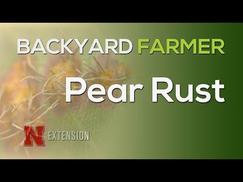 Pear Rust