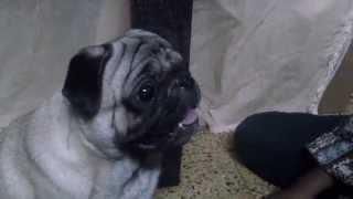 Pug Barking And Asking For Food
