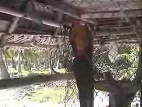 Gulliver the Macaw stranded on Fanning Island, Kiribati