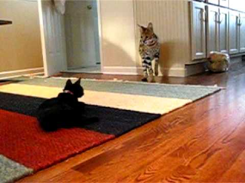 How Cute Is the Friendship Bet is listed (or ranked) 3 on the list 23 Adorable Videos of House Cats Meeting Big Cats
