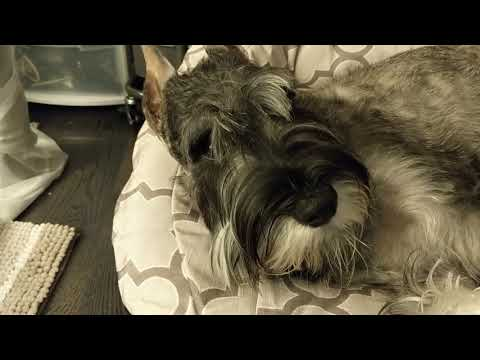 Paladin: 8 Months Standard Schnauzer for Once Pretty Calm