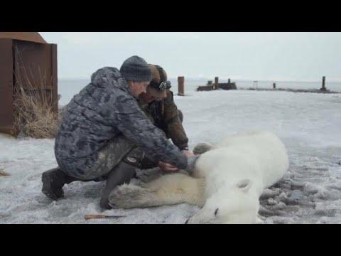 شاهد: السيطرة على دب قطبي  تقطعت به السبل في روسيا  - نشر قبل 15 دقيقة