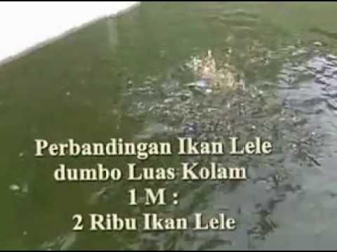 Beternak Ikan Lele Kolam semen - YouTube
