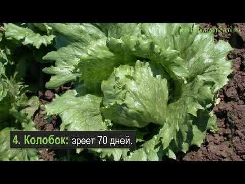 12 сортов салата для выращивания как бизнес