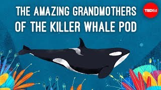 Inside the killer whale matriarchy - Darren Croft