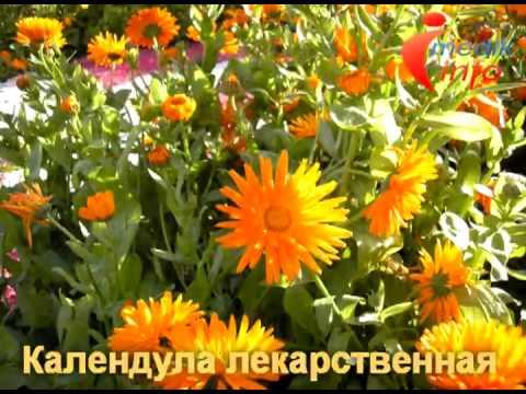 Лекарственные растения и травы, фото, описание, применение