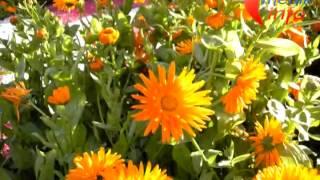 Видеогид. Лекарственные растения. Часть 1.(Видеогид по лекарственным растениям покажет в картинках лекарственные травы и их названия. Подробные опис..., 2013-01-26T14:02:05.000Z)