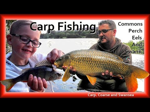 *** Carp Fishing *** Commons, Perch, Eels and Swans. Video 159