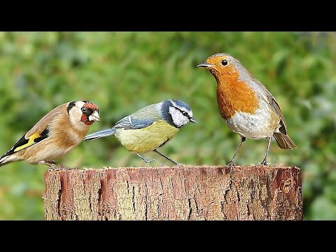 Entertainment for Cats - Birds Chirping on The Garden Log : 8 HOURS