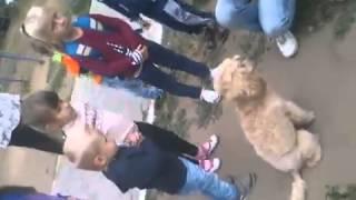 Малый пудель Боня выступает на детской площадке.