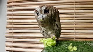 Сова сплюшка Ыть пробует листовой салат.