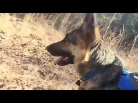 German Shepherd Backpack Camping