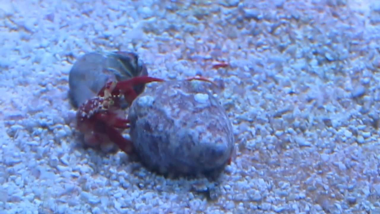 Hermit crab naked after exoskeleton fell off