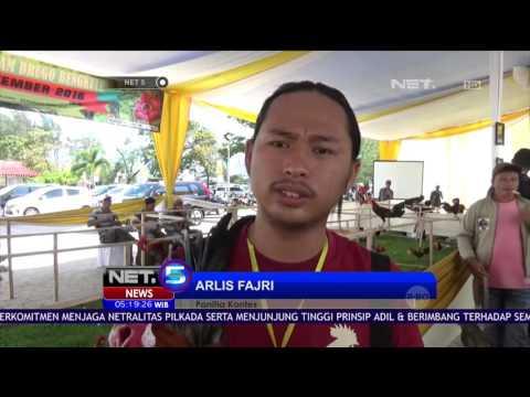 Kontes Ayam Brugo di Bengkulu Dinilai Dari Fisik & Kokohnya Ayam - NET5