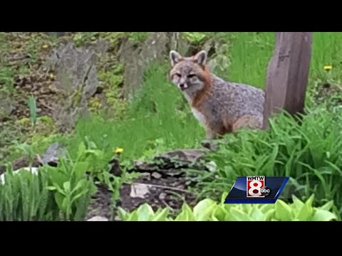 McCabe - Sanford police warn of rabid fox that attacked cats in Springvale