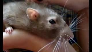 Любовь крысы к человеку/уникальные кадры
