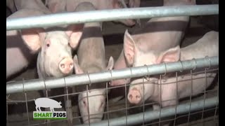 A Full Pig Farming Guide for Beginners - Smart Pigs Part 1