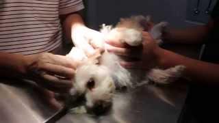 A dog has black ear discharge - otitis externa - ear irrigation
