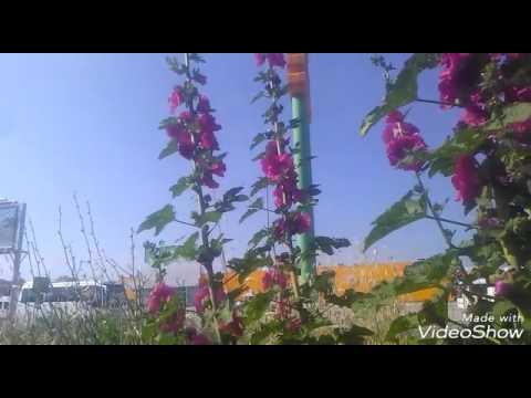 hatmi çiçeği gül hatmi çiçeği çayının faydaları yararları hatmi çiçeği gül hatmi çiçeği faydaları