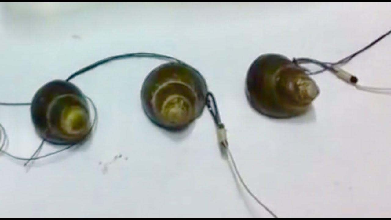 How to Make Black Carp Bait (2)Mồi Câu Trắm Đen (Trắm Ốc)Dùng Lưỡi Đơn.