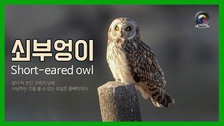 [한국의 새] 쇠부엉이 (Short-eared owl)…