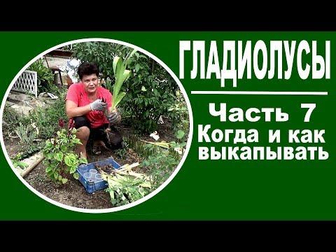 Гладиолусы от А до Я   Часть 7 -   как и когда выкапывать гладиолусы | гладиолусами | гладиолусы | выкапывать | сажать | огород | копать | когда | уход | сад | как