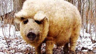 Венгерская мангалица. Первая зимовка свиней.