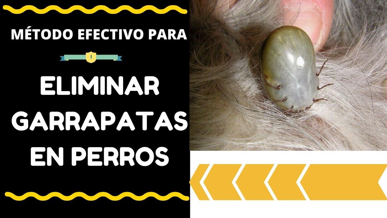 Como eliminar las garrapatas y las pulgas en perros 1 - Como eliminar las pulgas de casa remedio casero ...