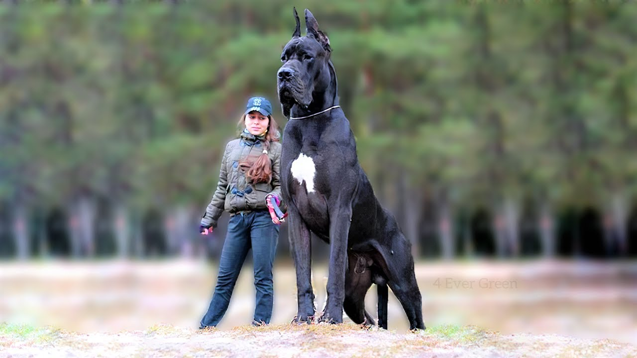 Dog worlds biggest 28 Pictures