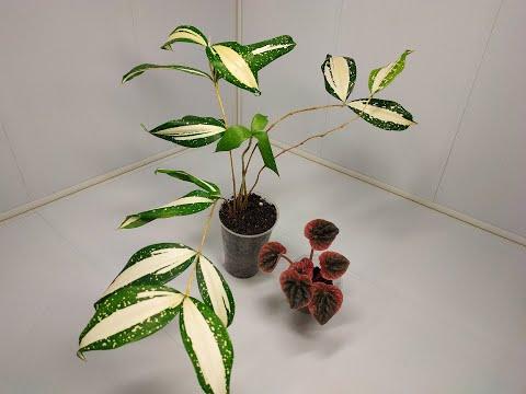 Новые растения в коллекции - Драцена суркулоза Млечный путь, Пеперомия сморщенная Абрикос