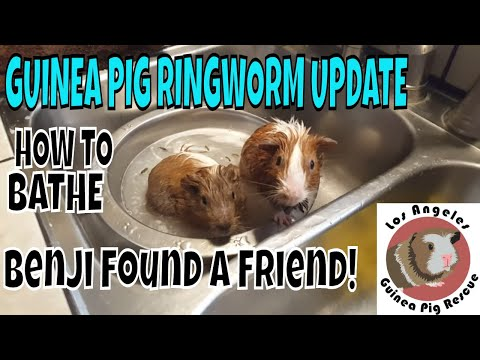 benji's-third-bath-and-new-rescued-ringworm-guinea-pig-conner-update