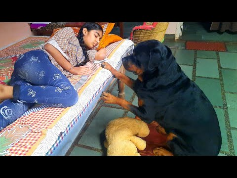 Rottweiler showing his power  funny dog videos  trained dog.