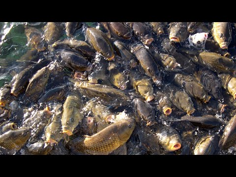 Chumming Carp & Catfish Everyday For 9 Days With Automatic Chumming Machine...THEN FISHING IT!
