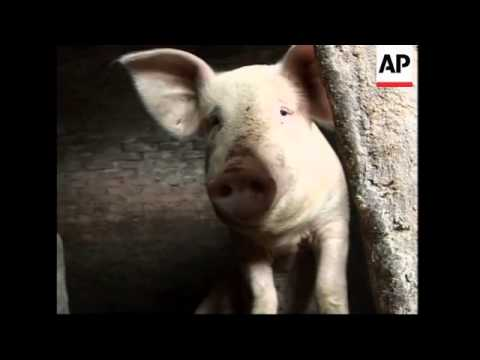 Pig dung converted into biofuel in rural homes