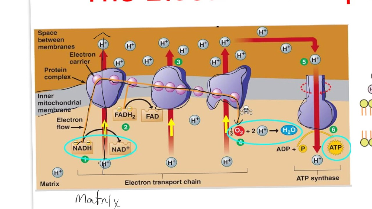 Higher Biology Key Area 2 2 The Electron Transport Chain