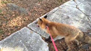 Fox exploring on a leash