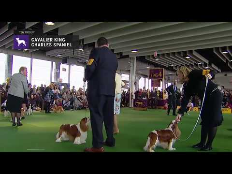 Cavalier King Charles Spaniels part 3 | Breed Judging 2019