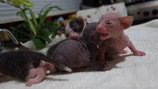 Котята донского сфинкса (две недели)
