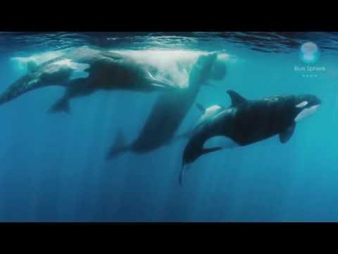 Orcas Vs Sperm Whales