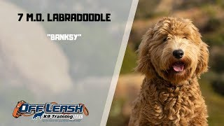 LABRADOODLE /DOG TRAINING