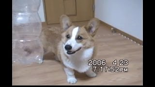 Young Goro, Foods In Bottle, 6 Month Old / 生後半年のコーギー 20060423 Goro@welsh Corgi