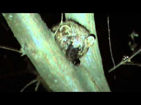 Baby Fisher Cat