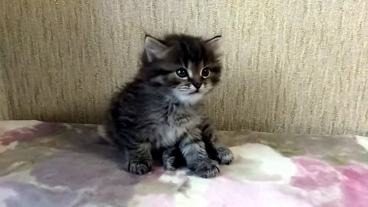 Сибирский котенок умывается перед сном и засыпает