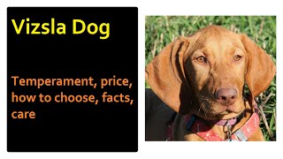Vizsla Dog. Pros and Cons, Price, How to choose, Facts, Care, History