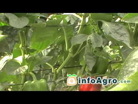 Cultivo del pimiento. 2ª parte (Chile, Ají, Morrón)