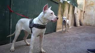 فخامة-كلب-الدوجو-الارجنتيني-dogo-argentino-صائد-الخنازير-مع-جمال-العمواسي